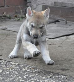 Pictures of Czechoslovakian Wolfdog Dog Breed - Puppy~!!