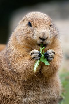 Munching Prairie Dog by Peter Nijenhuis on Flickr.