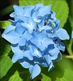 "'Nikko Blue' is a type of macrophylla hydrangea. The specific epithet, macrophylla translates literally as ""big leaf."" I talk about the Nikko Blue cultivar, as well as other types of hydrangea shrubs, here: http://landscaping.about.com/od/landscapingshrubsbushe1/a/hydrangea-plants.htm"