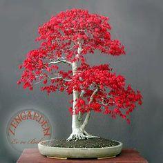 10 Sementes Acer Rubrum - Bordo Vermelho - Red Mapple Bonsai - R$ 12,75 no MercadoLivre