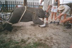WHAT HAPPENS AT THE CIRCUS....Step behind the scenes and see how elephants are trained to perform unnatural tricks in circuses.