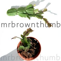 My beloved cactus began wilting from root rot... :(  Therefore: propagation time using the healthy bits!  This page explains how to cut, dry, plant, and care for new cuttings.  Another resource with a more exacting time scale for rooting & new foliage can be found here: http://www.turtlestuff.com/growingcactus.html