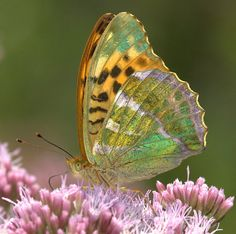 ~~Silver Washed Fritillary Butterfly by Neil Bygrave~~