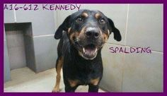 OVERLOOKED KENNEDY – TO BE KILLED Oct. 10 VERY ADOPTABLE, Rottie mix male, ID: A16-612 | Location: Spalding County Animal Shelter, Griffin, GA ♥ If you can help KENNEDY, please contact info@savinggeorgiadogs.org, or our page directly via our message option. For more info on how to adopt go to www.spaldingdogs.com. ♥ http://www.dogsindanger.com/dog/1470690016584