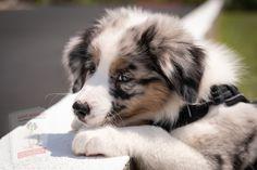 Aussie Puppies, Mammals, Pets, Animals And Pets, Australian Shepherd Puppies