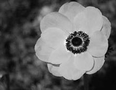 Google Image Result for http://www.suebarthelow.com/photography/images/black-and-white-anemone.jpg