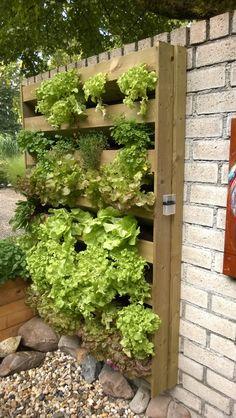 Hanging vegetables, castle gardens Arcen, Netherlands