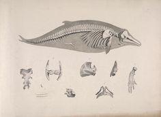 Die vergleichende Osteologie - Biodiversity Heritage Library