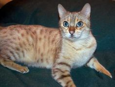 Snow Spotted Bengal - Older version of our Penny!