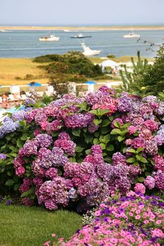 Beautiful Hydrangeas display & the ocean in Chatham, a charming lil village on Cape Cod. Outdoor, Chatham, Beautiful Flowers, Cottage Garden Design, Outdoor Gardens, Beautiful Hydrangeas, Coastal Gardens, Beautiful Gardens, Beach Gardens