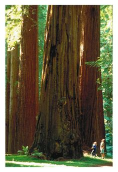 "Redwood Forest - Gorgeous, bigger than ""huge"" trees in all their grandeur.  Words cannot describe the majesty!"