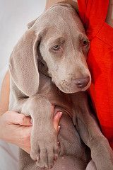 Weimaraner Pup ~ Classic Look Blue Weimaraner, Weimaraner Puppies, I Love Dogs, Puppy Love, Cute Dogs, Horses And Dogs, Dogs And Puppies, Pet Style, Dog Rules