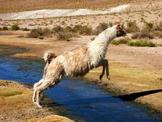 llama, leaping - Google Search