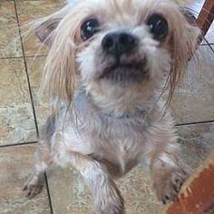Oak Ridge New Jersey Yorkie Yorkshire Terrier Triff Angus Einen Hund Zur Adoption Yorki Adoption Angus Einen Hun Yorkshire Terrier Yorkshire Terrier Dog Yorkshire Terrier Puppies