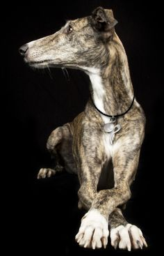 Our beautiful Galgo Spanish Greyhound loves her Silvertide pendant. We love the way she daintily crosses her feet.  https://www.facebook.com/InutiDesignerJewelleryLtd