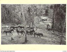 1942 Strings of pack ponies - New Guinea