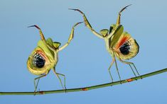 Dancing mantises. Two praying mantises strike a pose on a twig. Photographer Hasan Baglar, 40, takes detailed pictures of praying mantises which appear to show them striking a pose and dancing.