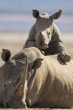 White Rhinoceros calf climbing on mother's back on Lake Nakuru shore