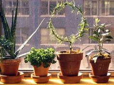 Overwinter herb plants indoor (Edible Landscaping with Charlie Nardozzi :: National Gardening Assoc.)