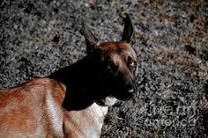 http://fineartamerica.com/featured/belgian-malinois-photos-by-zulma.html?newartwork=true  #Aviano #Italy #Belgium #Malinois #canine #zulma