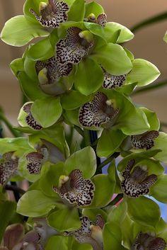 Cymbidium 'Green Glass' orchid