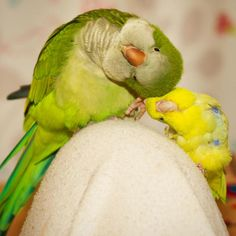 Omgosh tooooo cute! Quaker parrot, sometimes called Monk parakeets, and a yellow parakeet.