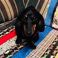 York, South Carolina - Dachshund. Meet Piper, a for adoption. https://www.adoptapet.com/pet/22487656-york-south-carolina-dachshund