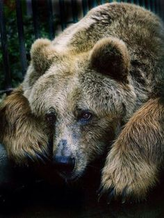 Brown bear  #wildlife