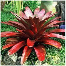 Resultado de imagem para plantas em extinção bromelia