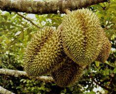 Trái cây eFruit - Sầu riêng 005