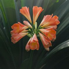 Colorado Clivia's plant number Clivia miniata, Not Holmes Red. Number 12, Garden Ideas, Colorado, Gardens, Spring, Plants, Red, Image, Flowers