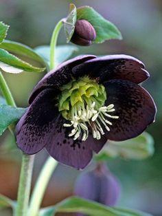 flowersgardenlove:  Hellebore Plant and Beautiful gorgeous pretty flowers
