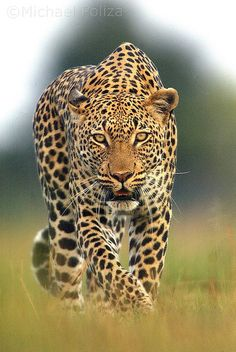 Stalking Leopard in Okavango Delta, Botswana  Photo by Michael Poliza  http://www.gunns-camp.com/