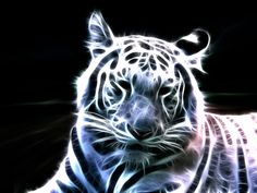 White tigers are white with black stripes, pink paws, and ice-blue eyes. Description from article.wn.com. I searched for this on bing.com/images
