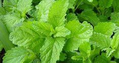 Lemon Balm - Melissa officinalis for Forest Gardens, Permaculture and Regenerative Landscapes