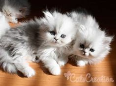 Baby Doll Cats | ... our Baby Doll Faced Persian Kittens, Tiny Kitten Breeder, Teacup Cats