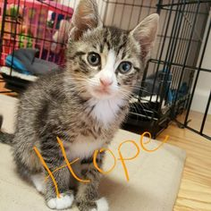 Hope is an adoptable Tabby - Grey searching for a forever family near Berkeley Heights, NJ. Use Petfinder to find adoptable pets in your area.