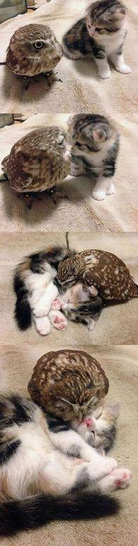 Tiny owl and kitten!! Cuteness overload!!