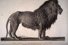 """imenagerie du museum/Felis leo. Le lion.  """"Anybody can learn to think, or believe, or know, but not a single human being can be taught to feel... the moment you feel, you're nobody-but-yourself - in a world which is doing its best, night and day, to make you everybody else - means to fight the hardest battle which any human being can fight, and never stop fighting.""""  ― E.E. Cummings"""
