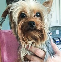 Found Dog - Male  - Hopkinsville, Kings Mills, Maineville, OH, USA 45039 on July 29, 2017 (09:00 AM)  Do you know this Dog? #Hopkinsville, KingsMills, Maineville (Striker Rd & Grandin Rd Area)  #OH 45039 #Warren Co. , #Found #Dog 07-29-2017!, Male #Yorkshire Terrier Yorkie Tan / Grey/   More Info, Photos and to Contact: http://www.helpinglostpets.com/petdetail/?id=1845368  To see this pet's location on the HelpingLostPets Map: http://www.helpinglostpets.com/v2/?pid=1845368  Let's get this…