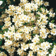Mock Orange Beautiful, fragrant blooms during late spring. Fully double white flowers have a rich, sweet perfume that lingers in the garden as well as in bouquets.