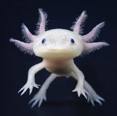 growing larger than a foot centimeters) in length, the Axolotl is one. Rarely growing larger than a foot centimeters) in length, the Axolotl is one.Rarely growing larger than a foot centimeters) in length, the Axolotl is one. Rare Animals, Animals And Pets, Funny Animals, Animals Sea, Extinct Animals, Unusual Animals, Bizarre Animals, Smiling Animals, Cute Wild Animals