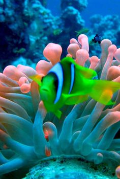Red Sea Anemone/fish co-existence. Underwater Creatures, Underwater Life, Ocean Creatures, Colorful Fish, Tropical Fish, Fauna Marina, Beautiful Sea Creatures, Life Under The Sea, Beneath The Sea