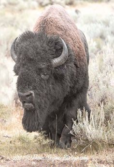 Thomas Szajner Photography full of testosterone and ready for a fight.rut season in Yellowstone - buffalo Native American Girls, Native American Images, American Bison, American Animals, Wild Creatures, All Gods Creatures, Buffalo Pictures, Bison Pictures, Beautiful Creatures