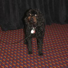 """""""Madison"""" accompanied her person, Wendy Cohen, to The Conference on Complementary Animal Healing. Craniosacral Therapy, Conference, Healing, Dogs, Animals, Animales, Animaux, Animal Memes, Therapy"""