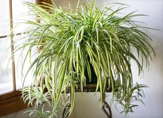 Chlorophytum comosum Vittatum Spider plants are easy to look after houseplants that originate from the tropical and southern regions of Africa. This variety is the first variegated cultivar. It has mid-green leaves with a broad central white stripe.