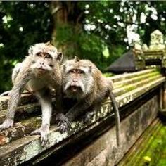 Monkey Forest. Bali Indonesia. These monkeys are the best.  They will eat tiny bananas or sweet potatoes while sitting on your shoulder.  Can be a bit aggressive at time - but terribly cute