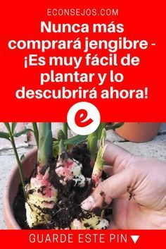 Jengibre plantar | Nunca más comprará jengibre -¡Es muy fácil de plantar y lo descubrirá ahora! | Nunca más comprará jengibre -¡Es muy fácil de plantar y lo descubrirá ahora! Aprenda aquí.