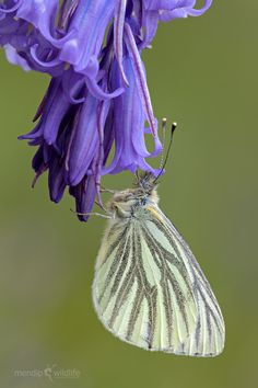 Green Veined White (Pieris napi) This is a common butterfly of damp grassland and woodland rides and is often mistaken for its cousin, the Small White. It can be found from spring through to autumn in parks and gardens, as well as less-urban areas such as meadows and woodland rides. The so-called green veins on the underside of the adults are, in fact, an illusion created by a subtle combination of yellow and black scales.