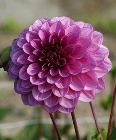 Dalie Blue Bell  - #fiori e #giardinaggio - #bakker